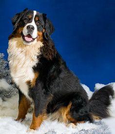 Bernese Mountain Dog Puppies And Kitties, Cute Puppies, Doggies, Cute Dogs Breeds, Dog Breeds, Entlebucher, Swiss Mountain Dogs, Bernard Dog, Animals