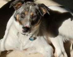 Petango.com – Meet Crash, a 5 years 1 month Australian Shepherd / Mix available for adoption in YOUNGSVILLE, LA