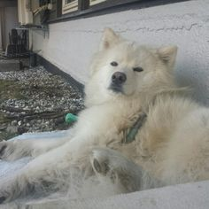 Ozzy chillin Mixed Breed, Husky, Dogs, Animals, Animales, Animaux, Pet Dogs, Mixed Race, Doggies