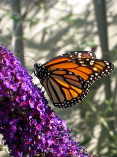 Monarch Butterfly on Buddleia