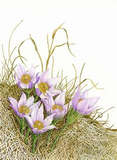 Margaret Best is a botanical artist and teacher who lives in Calgary, at the foot of the Canadian Rockies.  Her watercolor painting of Pulsatilla patens, prairie crocus, was selected for Gust Gallery exhibition poster, art size: 8.5 x 11 inches. Pinned from the artist's own website by Nancy Lee Moran in 2016 #crocus #Canada #watercolour