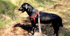 Królewna Fiona szuka nowego zamku | ADOPCJE LABRADORY.ORG Labrador, Animals, Animales, Animaux, Labradors, Animais, Labrador Retriever Dog, Labs, Animal