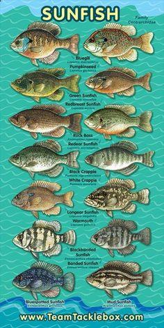 My childhood summers were spent catching these beauties, Freshwater Sunfish - naturewalkz