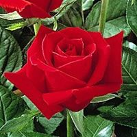 Mr Lincoln Roses care and info