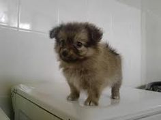 Pomeranian husky mix What!!! That is so cute!