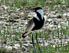 Αγκαθοκαλημάνες - Άφιξη μεταναστευτικών πουλιών στο Δέλτα του Έβρου