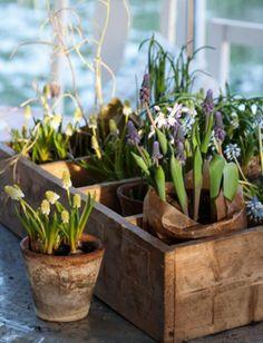 bloembollen in vintage kistje - flower bulbs