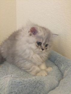 Beautiful CFA silver Persian kittens for sale