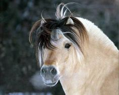 Everything about the Fjord Horse. - Plazilla.com