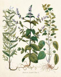 Herbs de Menthol No. 2 - Botanical Herb Print