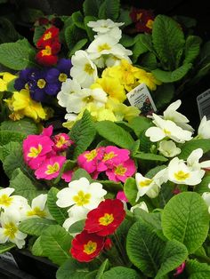 Primroses Would like a box of these on the deck this spring ...they smell so light and fresh and sweet