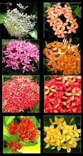 mini ixora plant - yellow | ixora flowers | pinterest | plants