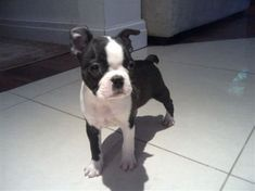 You love Boston Terriers. You love tiny dogs and puppies. You are going to love this photo of Rio! Cute Puppies, Dogs And Puppies, Boston Bull Terrier, Mighty Mighty, Cairns, Norfolk, Rescue Dogs, I Love Dogs, Yorkie