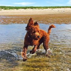 Having a ball at the beach! #AgwayTopDog #finalist #dogsofinstagram