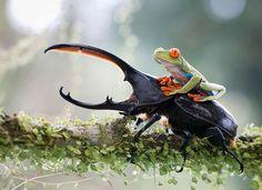 Une grenouille sur scarabée