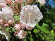 Wild Mountain Laurel #laurel #mountainlaurel #flower #spring