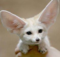 Fennec fox and other fun fact to read to kids about animals