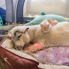 Compartir una siesta es sin duda una de las señales de confianza y amistad más profundas #animallove