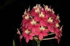 Epidendrum 'Pacific Sunset'  Epidendrum. Crucifix Orchids, Reedstem Orchid. Reed Stem Orchid or Reed Orchid. #orchid #epidendrum