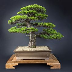 Bonsai is a great form of gardening for city dwellers, but not many species are adapted to live indoors. Bonsai Tree Types, Indoor Bonsai Tree, Bonsai Plants, Bonsai Garden, Bonsai Trees, Small City Garden, Small Gardens, Terrarium Diy, Pine Bonsai