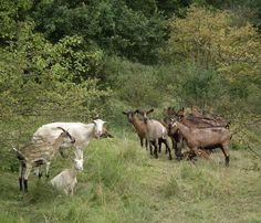 Chèvres de Frise