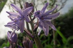 In My Garden #bluebell Spring 2016 https://uk.pinterest.com/annbri