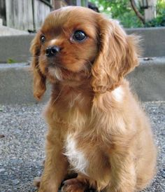 Sneakers the Cavalier King Charles Spaniel. I love this breed. He is a handsome little dude!
