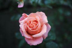 love peach roses