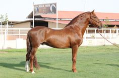 Rare Chestnut Andalusian PRE Stallion | Stallions At Stud | Epona Exchange