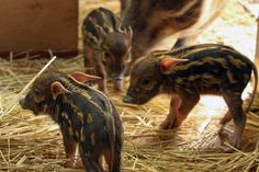 wild boar piglet-- so cute when they're little... if only they stayed that way.