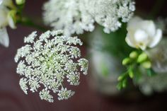 Queen Anne's Lace   (from Rachel Ford James flickr)