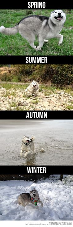 Husky during the seasons…and, yes, as a husky owner, I can confirm the accuracy of these pictures.