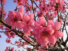 37 best spring nature images on pinterest beautiful flowers beautiful pink spring flowers mightylinksfo