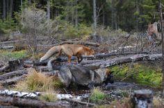 Tinni e Snusen - red e toby :D http://d.repubblica.it/famiglia/2013/12/05/foto/cane_e_volpe_amici_animali_red_e_toby-1918774/#19