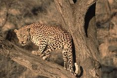 These solitary and highly cautious predators are natives of the Serengeti. Leopards are nocturnal, arboreal and highly skilled climbers. These predators are very successful hunters and can reach the neck of their prey before the prey realizes what struck it.