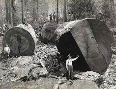 An estimated or more of the original old-growth redwood forest has been cut. In old-growth redwood forest covered more than acres.down to acres by by which time nearly of the original redwood trees had been logged Rare Historical Photos, Rare Photos, Old Pictures, Old Photos, Random Pictures, Photos Rares, Foto Real, Redwood Forest, Big Tree