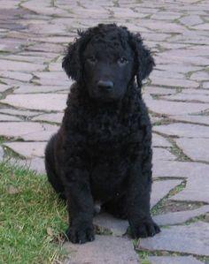 Not mine but super cute! Curly Coated Retriever, American Cocker Spaniel, Dog Varieties, Bearded Collie, Alaskan Malamute, Bichon Frise, Australian Shepherd, My Animal, Beautiful Dogs