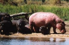 Thats me...Standin out from the rest of the crowd, and this time it's not just because I'm a hippo.