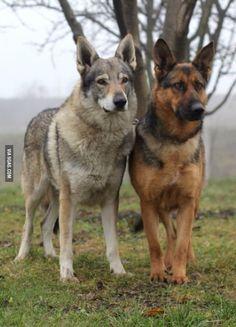 Czechoslovakian Wolfdog and German Shepherd #germanshepherd