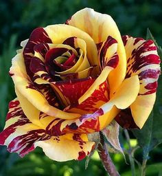 Beautiful roses~ variegated burgundy & yellow.