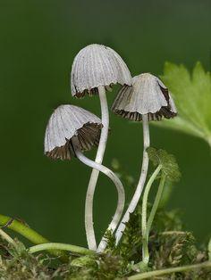 hnojník rozsiaty Coprinellus disseminatus (Pers.) J.E. Lange