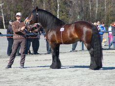 Dølehest - stallion Ramsvik Prins
