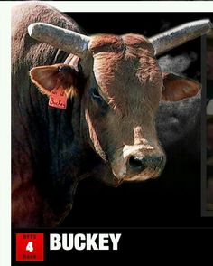Buckey Bull ID: CWZW1 Contractor: Wentz Bucking Bulls Breed: American Bucking Bull Weight: 1500 lbs Born: 2006