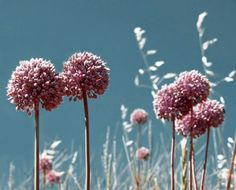 Allium: un fiore in cucina http://www.foodconfidential.it/allium-un-fiore-in-cucina/