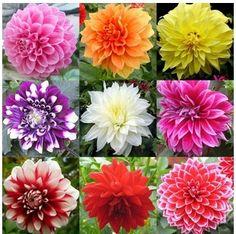 100 mixed colors dahlias seeds beautiful Garden Flower hot sale