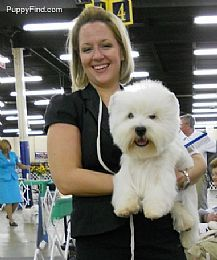 West Highland White Terrier Breeders and West Highland White Terriers For Sale Westie Puppies For Sale, Cute Puppies, Dogs And Puppies, West Highland Terrier Puppy, Terrier Dog Breeds, Terriers, West Highland White, White Terrier, Westies