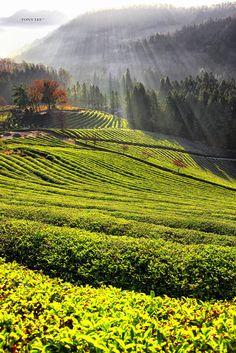 Boseong tea fields, South Korea. #TeaField #TeaCultivation