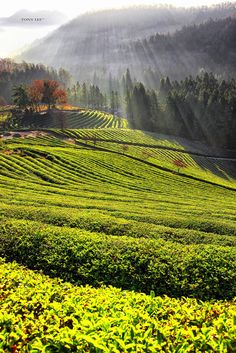 Boseong tea fields, South Korea.