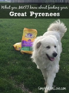 Here's what you must know about feeding Great Pyrenees Dog. Keeping them happy and healthy is vitally important! Make sure you know how with these tips. #GrainFreeForMe #ad @wellnesspetfood