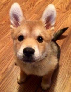 Chihuahua mix, Shiba inu and Chihuahuas on Pinterest